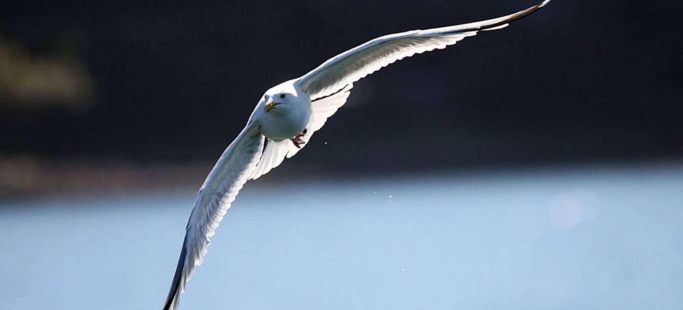 medium-Loop-Head-Common-Gull-nrzph5gig6jw8cwpx5zeqsfqzhmpy8ijx8ozdjl3ps